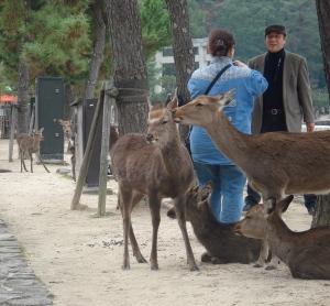 Japan Travel Destination Miyajima Deer